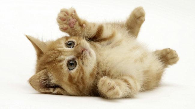 Рыжий пушистый котенок лежит на полу с вытянутыми передними лапами