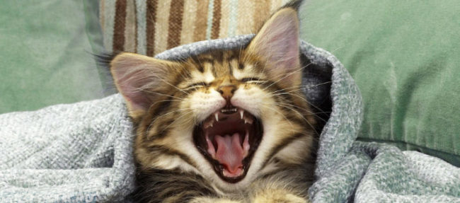 Котёнок зевает и широко открыл рот