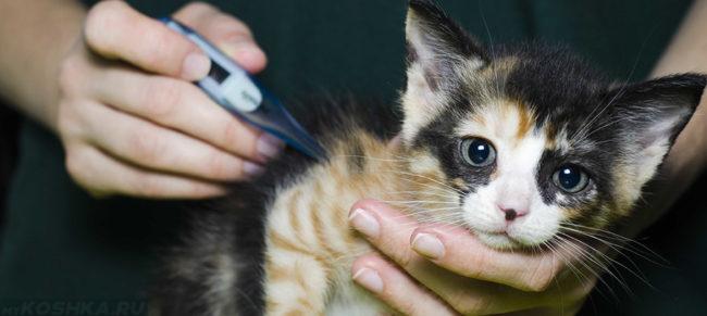 Измерение температуры тела у котёнка