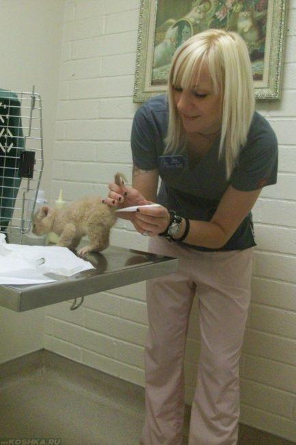 Ветеринар у пушистого котенка измеряет температуру тела ректально