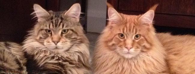 Коты родственники оба страдают мочекаменной болезнью