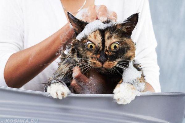 Купание испуганного кота шампунем от блох