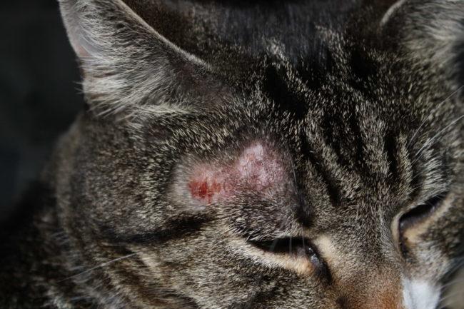 Морда полосатого серого кота с аллергической реакцией на виске