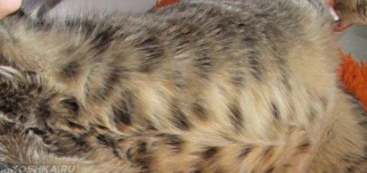 Осмотр беременной кошки на наличие глистов