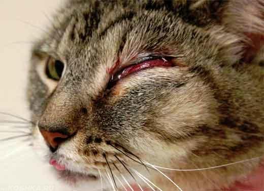Конъюнктивит у кошки в запущенной форме