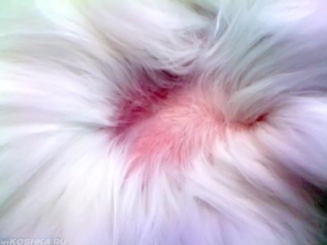 Розовый лишай на теле у кошки