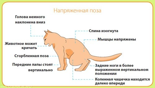 Признаки мочекаменной болезни у кота из-за сухого корма