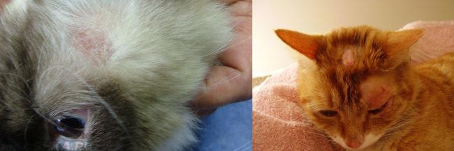 Примеры кошек больных лишаём