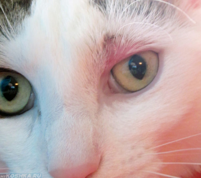 Розовый лишай у кошки на морде