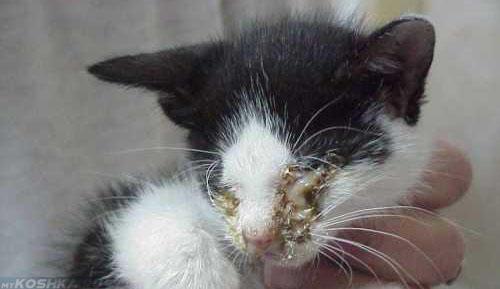 Серьёзное поражение глазного яблока у котёнка при ринотрахеите