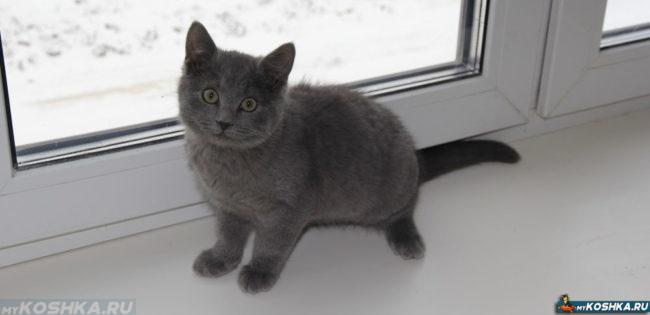 Серый британский котёнок