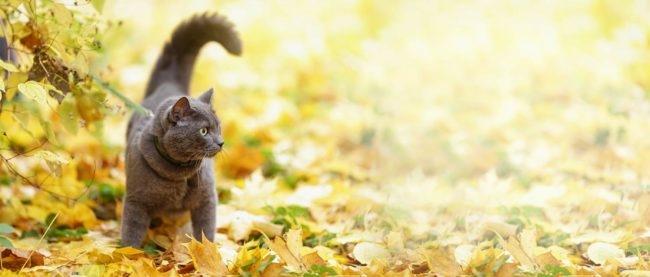 Серый кот гуляет на улице по осенним листьям