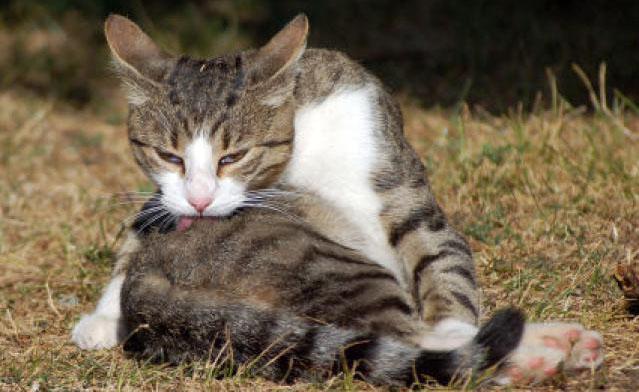 Кошка умывается и лижет свою шерсть