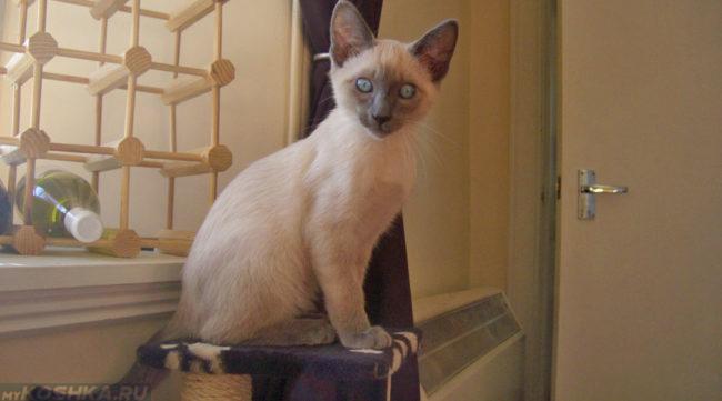 Сиамская кошка в 4 месяца