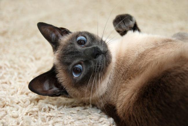 Котёнок сиамской кошки