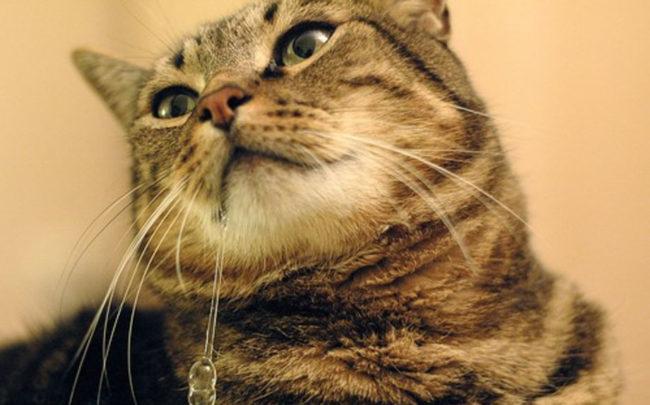 У кошки течёт слюна при поглаживании