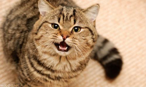 Пухлый разноцветный кот мяукает