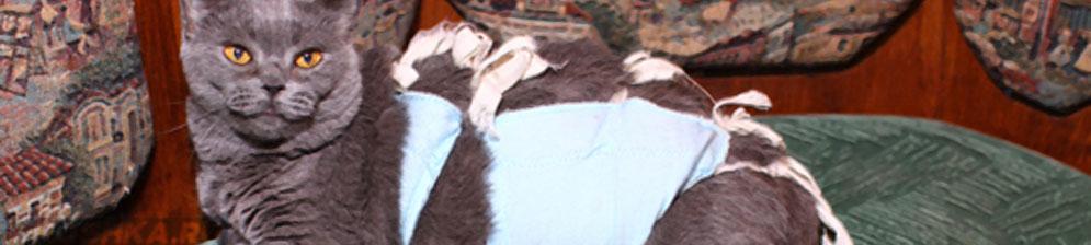 Стерилизованная взрослая кошка в попоне
