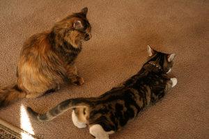 Кошка выгибается в период первой течки