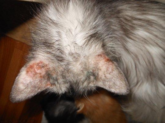 Ушная чесотка у кошки.