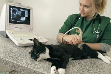 Специалист делает УЗИ кошке