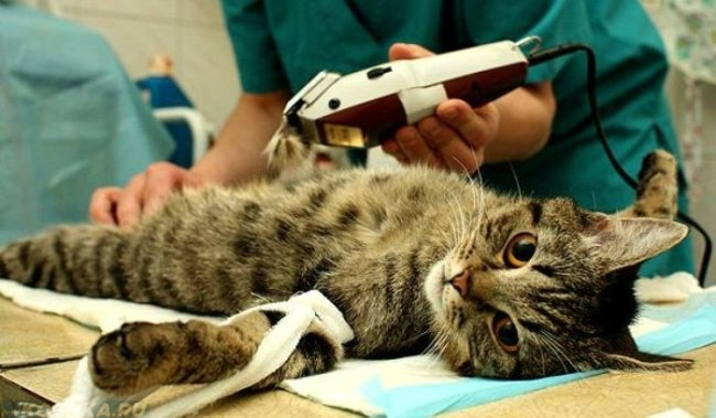 Коту выбривают на мошонке шерсть