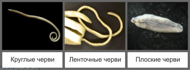 Виды опасных глистов-червей для человека от кошки