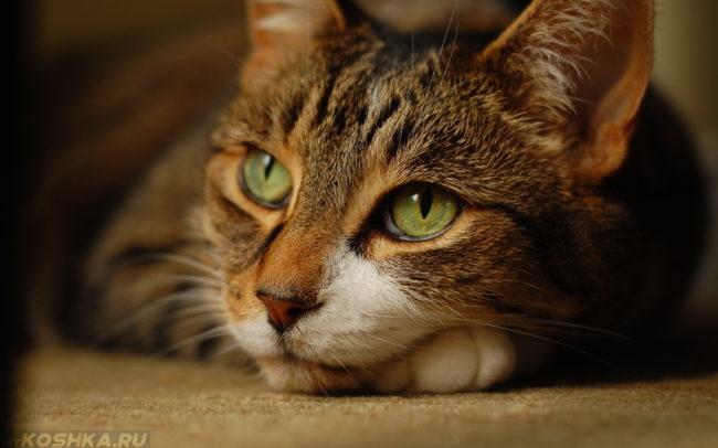 Красивая стерилизованная кошка спокойно лежит
