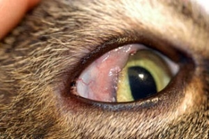 Воспаления роговицы глаза кератит у кошки