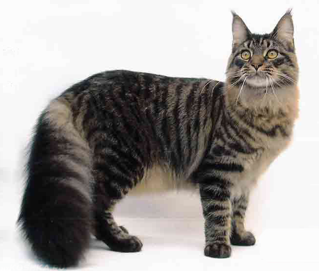 Кот Мейн-Кун с гигантским хвостом