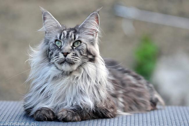 Взрослый кот Мэйн Кун 4 года