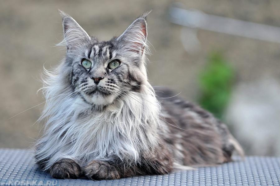 Что любит кот мейн-кун
