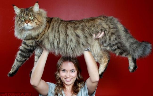 Кот породы Мейн-Кун на руках