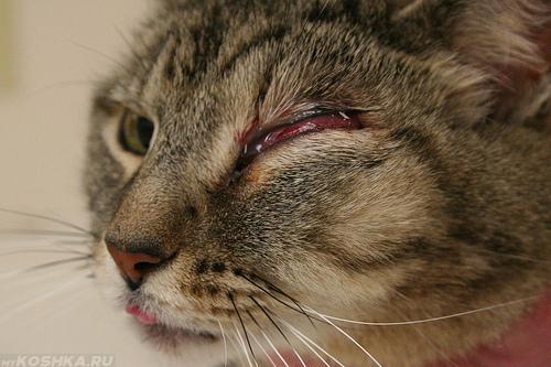 Абсцесс ротовой полости у кота
