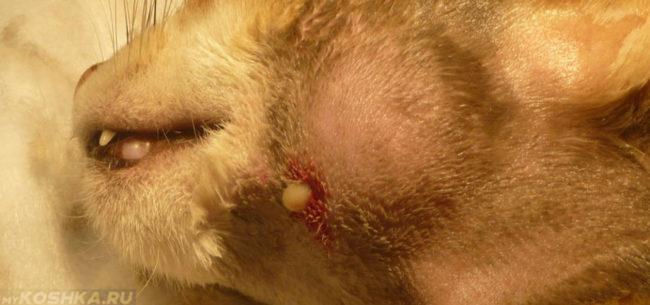 Гнойный абсцесс на морде у кота