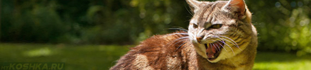 Агрессивный кот хочет кошку