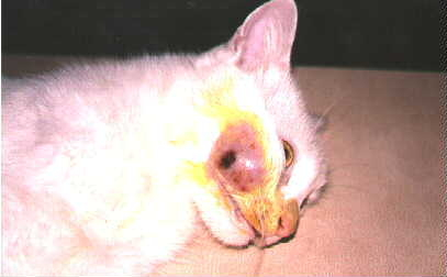 Абсцесс на морде у кошки с ярко-выраженной капсулой