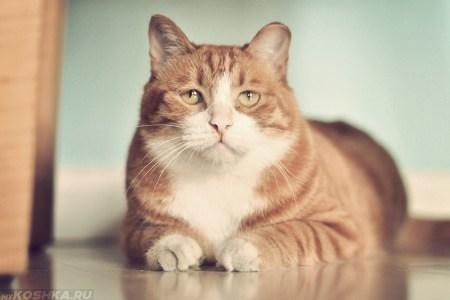 Дакриоцистит у кошки
