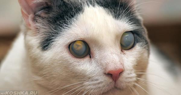 Катаракта у кошки на оба глаза