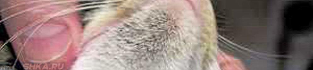 Чёрные точки на подбородке у кошки