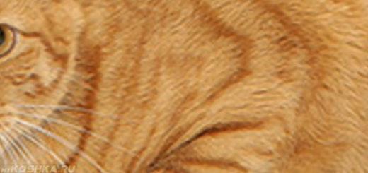 Точка воспаления циститом у кота
