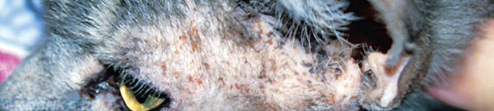 Демодекоз у кошки вблизи