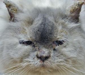 Гнойный дерматит на морде у кошки