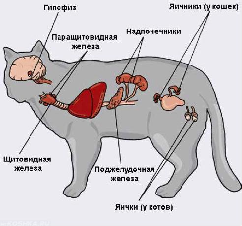 Щитовидная железа и надпочечники у кошки на схеме.