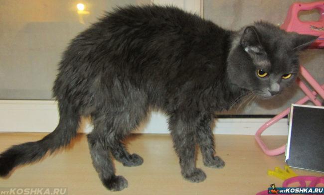 Кошка с чистой выкупанной шерстью без болячек