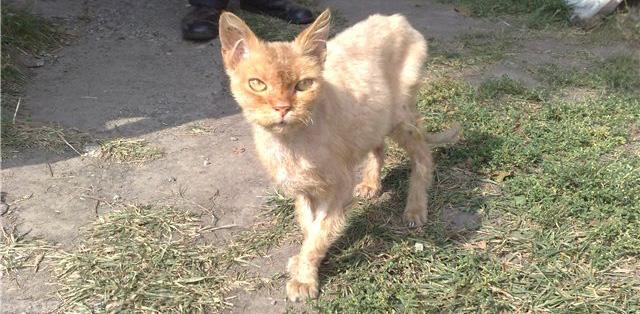 Истощение и ушной клещ и кошки