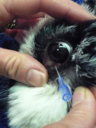 Извлечение возбудителя глазного заболевания из глаза кошки.