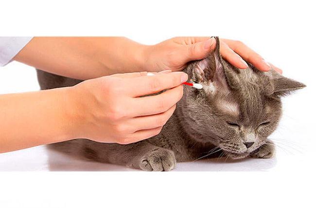 Серому коту чистят уши ватной палочкой