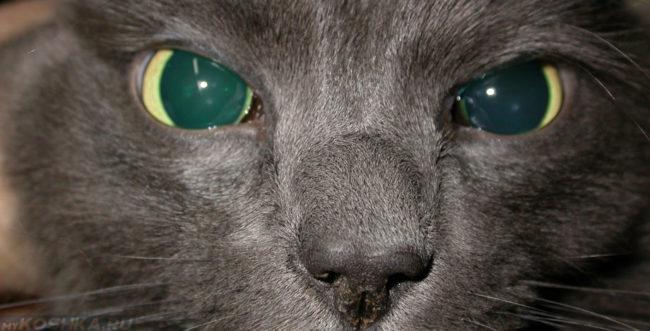 Катаракта у кошки поражены два глаза