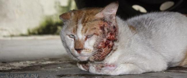 Кошачья чума у кошки